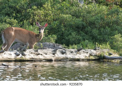 White-tailed Deer on Edge of lake in Maine