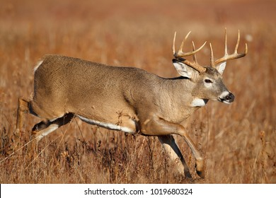 A white-tailed deer running in a meadow