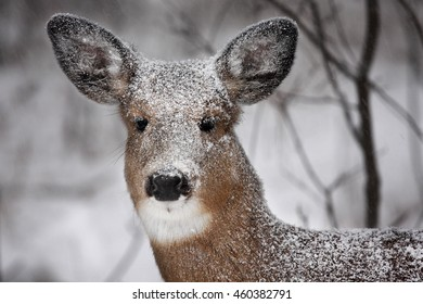 White-tailed deer with a snow covered face in a snow squall in Canada
