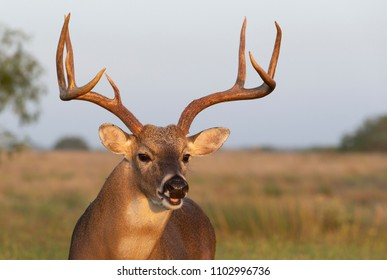 White-tailed Deer in Southern Texas