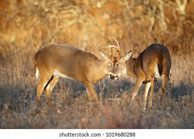A white-tailed deer sparing