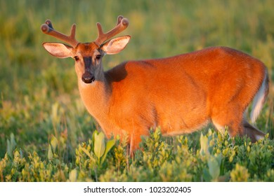 A white-tailed deer in the spring with velvet antlers