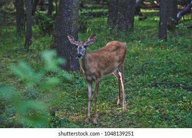 A white-tailed deer standing in an open space with trees in the background