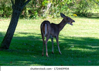 White-tailed deer stands with an open mouth and a pear in its mouth under a tree in a meadow