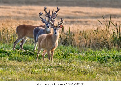 "White-tailed deer. ""Three Musketeers with all ears""."