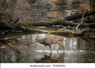 A white-tailed deer walking in a swamp