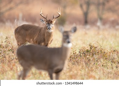 A white-tailed doe in the foreground with large buck background in meadow in Smoky Mountains National Park