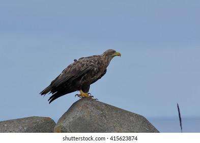 White-tailed eagle