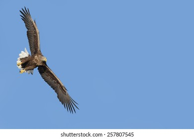 White-tailed eagle in blue expanse, copy space allowed on the right