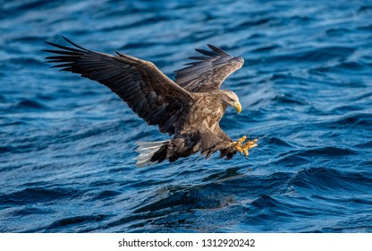 White-tailed eagle is fishing. Blue Ocean Background. Scientific name: Haliaeetus albicilla, also known as the ern, erne, gray eagle, Eurasian sea eagle and white-tailed sea-eagle.