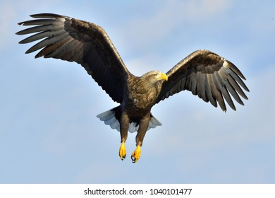 White-tailed eagle in flight,  fishing. Adult white-tailed eagle (Haliaeetus albicilla), also known as the ern, erne, gray eagle, Eurasian sea eagle and white-tailed sea-eagle.