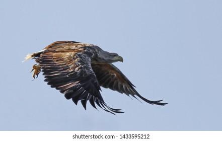 White-tailed eagle in flight, Haliaeetus albicilla , bird of Greenland