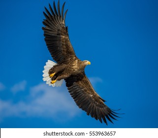 White-tailed eagle in flight on background blue sky. Japan. Hakkaydo. Shiretoko Peninsula. Shiretoko National Park . An excellent illustration.