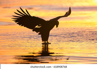White-tailed eagle in flight silhouette