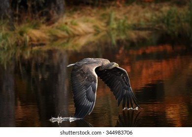 White-tailed Eagle flying over the small lake in the autumn forest with wings touching water surface