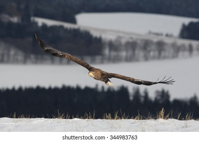 White-tailed Eagle flying over a winter meadow covered by snow with distant winter forest and landscape in background.