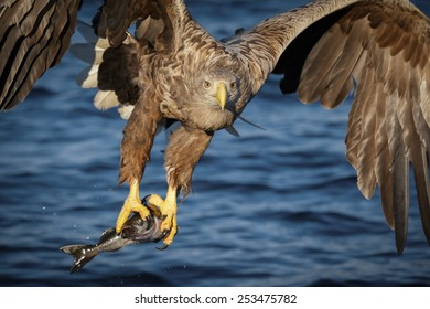 White-tailed eagle flying past with freshly caught coal fish