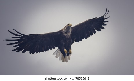 White-tailed Eagle in full wingspan