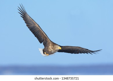 White-tailed Eagle (Haliaeetus albicilla) Adult soaring over Lake Furen on the Nemuro Peninsula, Hokkaido Island, Japan.