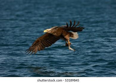 White-tailed Eagle (Haliaeetus albicilla) with a fish