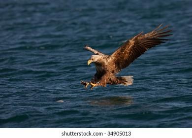 White-tailed Eagle (Haliaeetus albicilla) going to catch a fish