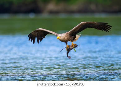 The white-tailed eagle (Haliaeetus albicilla) with the prey