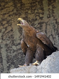 White-tailed eagle (Haliaeetus albicilla), very large eagle,  is screaming