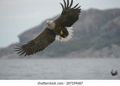 A White-tailed eagle makes a mistake when trying to catch a meal and the intended target is sent flying through the air.
