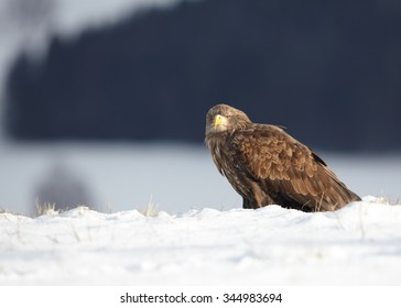 White-tailed Eagle on edge of a winter meadow covered by snow with distant winter forest and landscape in background.