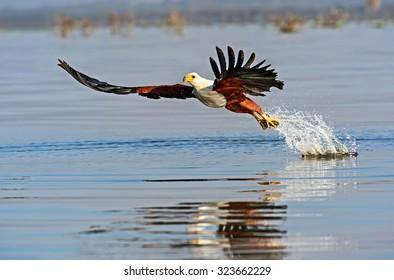 White-tailed eagle on the lake Naivasha