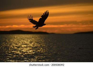 A White-tailed Eagle in silhouette against the sunset sky, flies back to the nest with a final catch of the day to feed her growing chicks with.