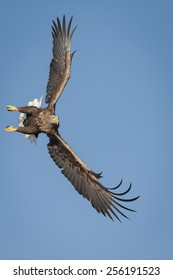 White-tailed eagle turning ready to dive