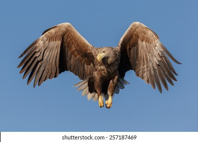 White-tailed eagle with wings half open backed by a blue sky
