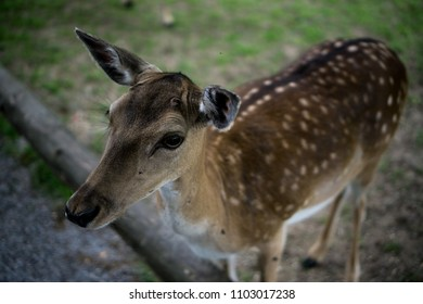 A white-tailed heartwarming deer fawn standing in a field, Bambi concept, wild nature, selective focus.