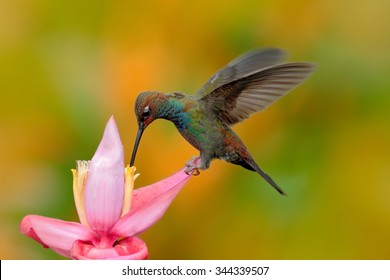 White-tailed Hillstar, Urochroa bougueri, hummingbird in flight by the ping flower, gren and yellow background, Montezuma, Colombia.
