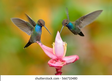 White-tailed Hillstar, Urochroa bougueri, two hummingbirds in flight by the ping flower, green and yellow background, two feeding birds in the nature habitat, Montezuma, Colombia.