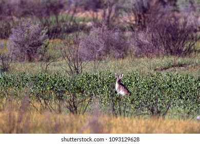 White-tailed Jackrabbit, or Prairie Jack, in Alamosa National Wildlife Refuge in Colorado