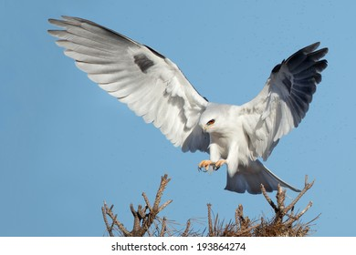 A White-tailed Kite coming to a landing.