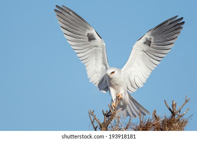 A White-tailed Kite posing on a perch top.