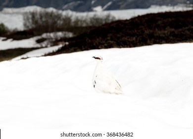 White-tailed ptarmigan bird in snow field