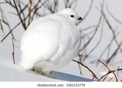 A White-tailed Ptarmigan hides against the snow with its all white winter plumage.