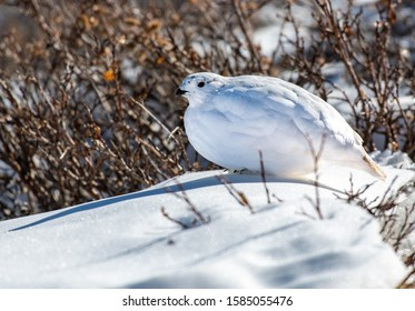 White-tailed Ptarmigan in a Snowy Alpine Meadow