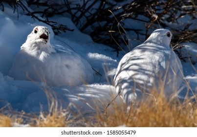 White-tailed Ptarmigan Voicing its Opinion