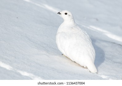 A White-tailed Ptarmigan In its Winter Plumage
