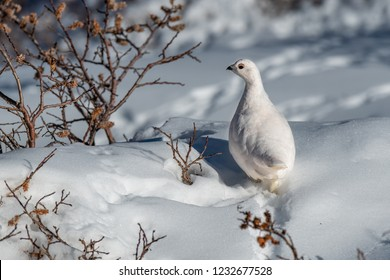 White-tailed Ptarmigan in Winter Plumage