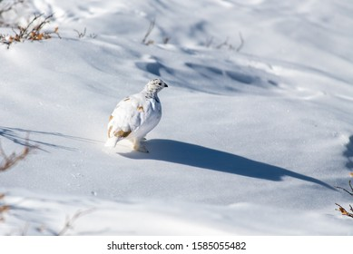 White-tailed Ptarmigan with Winter Plumage Strolling Through a Snowy Alpine Meadow
