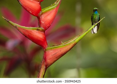 White-tailed Sabrewing, Campylopterus ensipennis, endemic hummingbird perched on red heliconia bihai flower against blurred background. Due hurricane Flora almost extinct  hummingbird, island Tobago.