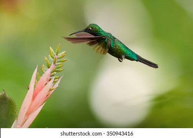White-tailed Sabrewing, Campylopterus ensipennis, very rare, endemic hummingbird hovering over pink flower against blurred background.Almost extinct specie of hummingbird from carribean island Tobago.