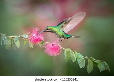 White-tailed sabrewing hovering next to pink flower, bird in flight, caribean tropical forest, Trinidad and Tobago, natural habitat, beautiful hummingbird sucking nectar,colouful background