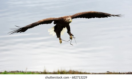 White-tailed Sea Eagle in flight, coming in to land